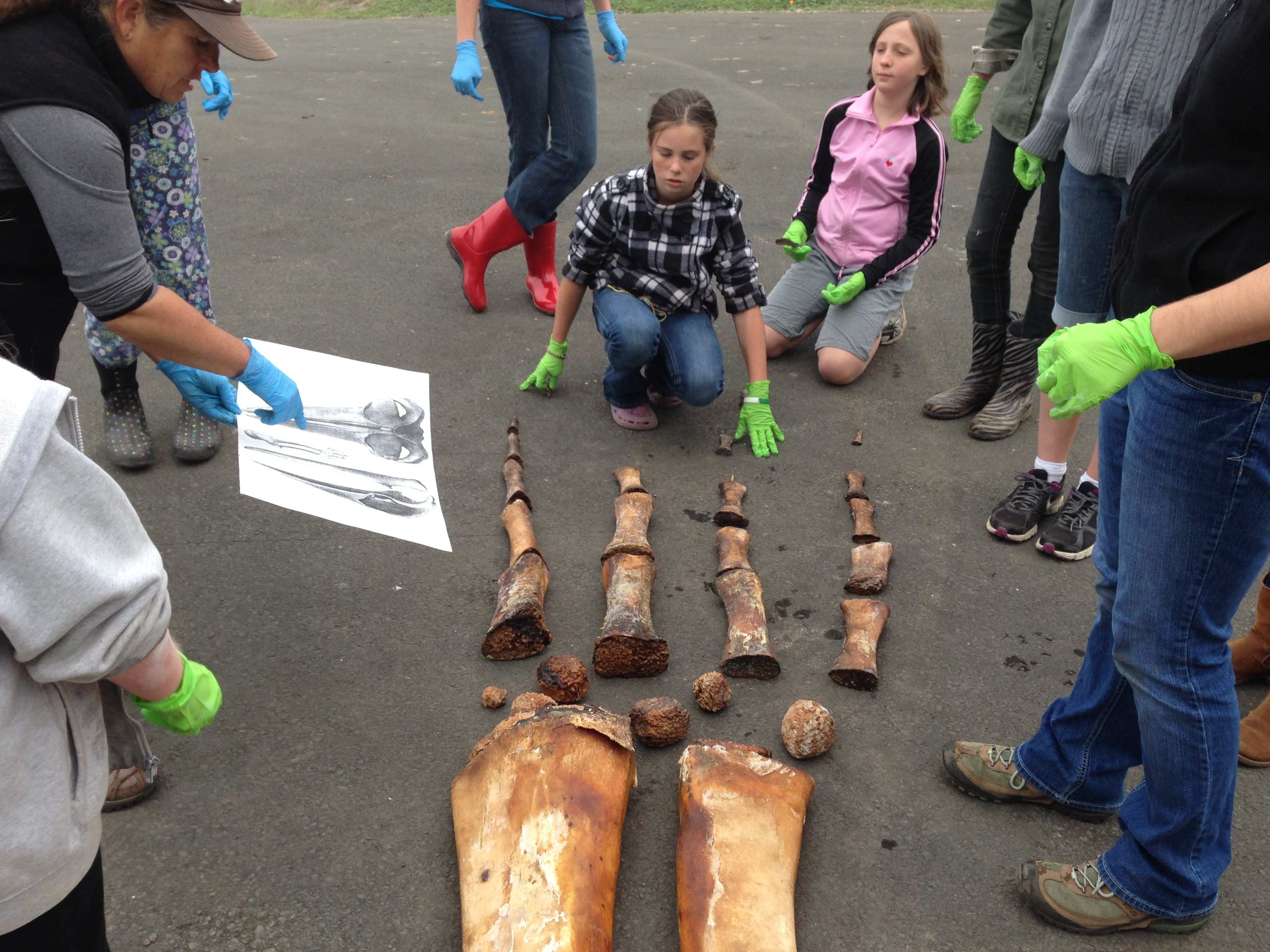 Students learning to put the flipper bones in order