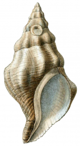 Kelletia_kelletii_shell by william bailey