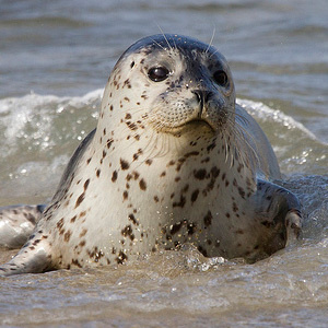 Harbor Seal pup.
