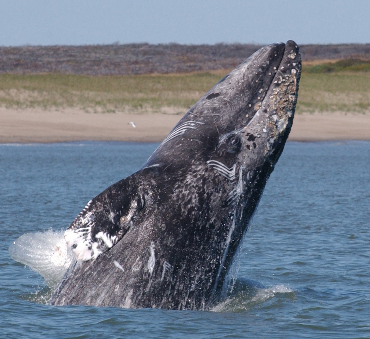 images-of-gray-whales