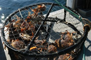 dungeness-crabs-in-a-crab-trap