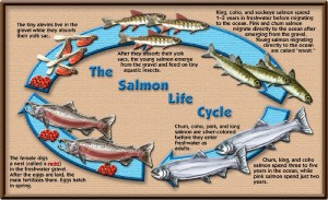The Pacific Salmon Life Cycle. Click the image to watch salmon travel up a fish ladder to spawn in a hatchery!