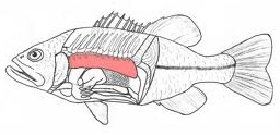 The highlighted pink area is the swim bladder in a rockfish.