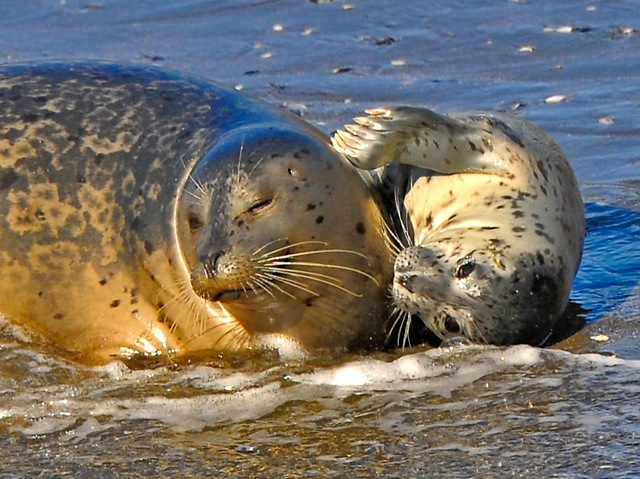Harbor Seal mom and pup. Photo by Siegfried Matull