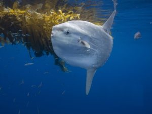 oceansunfish_wallpaper_800